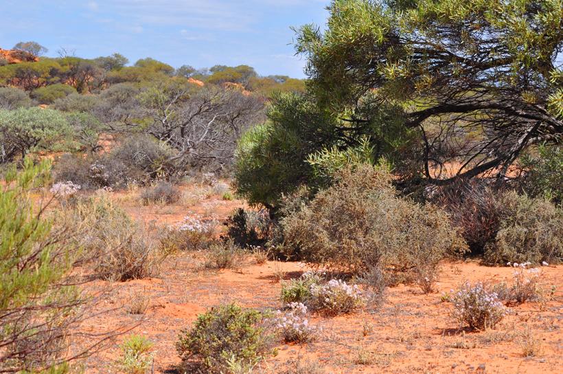 veldbloemen en struiken in golden outback