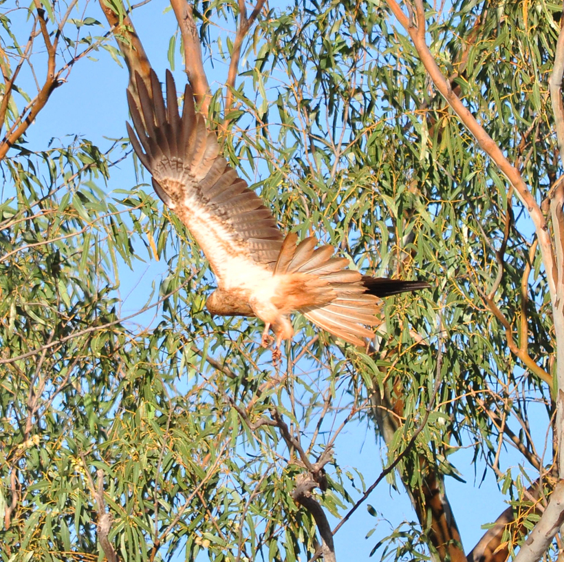 wigstaartarend western australia