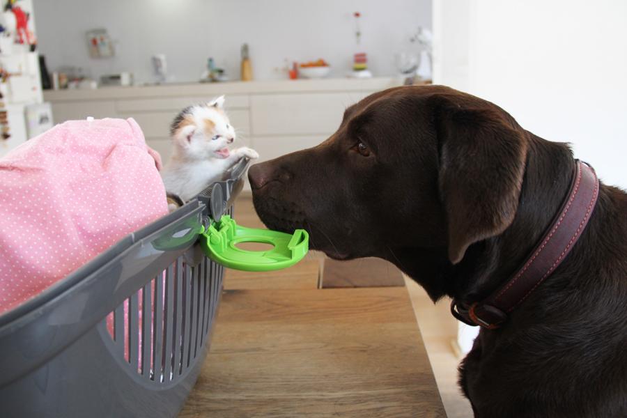 pleeggezin voor kittens met hond