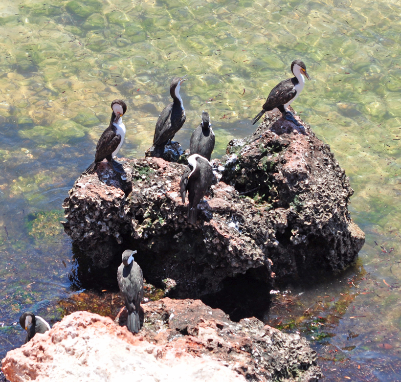 aalscholvers in Shark Bay
