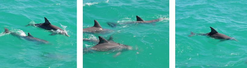 wilde dolfijnen in shark bay