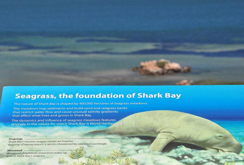 dujoengs in shark bay