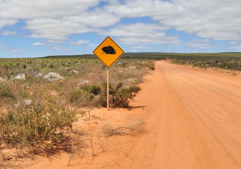 echidna in lesueur westkust van Australië