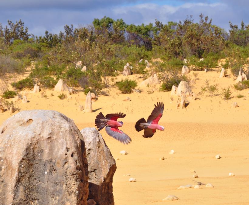 galah in pinnacles westkust van Australië