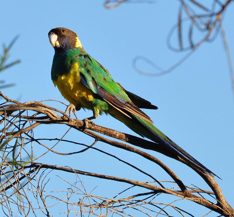 geelgroene port-lincolnparkiet westkust van Australië