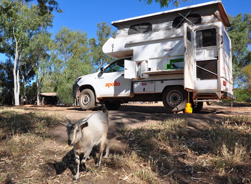 geit op camping Murchison