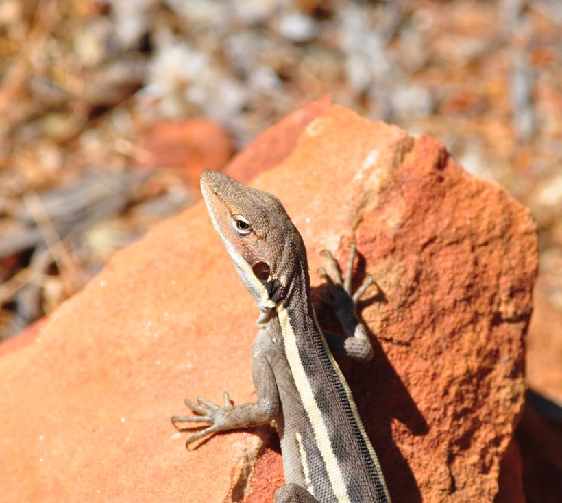 gilbert's dragon westkust van Australië