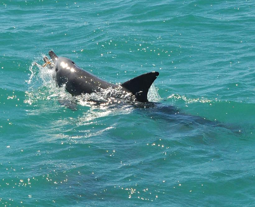 dolfijn vangt slang in shark bay