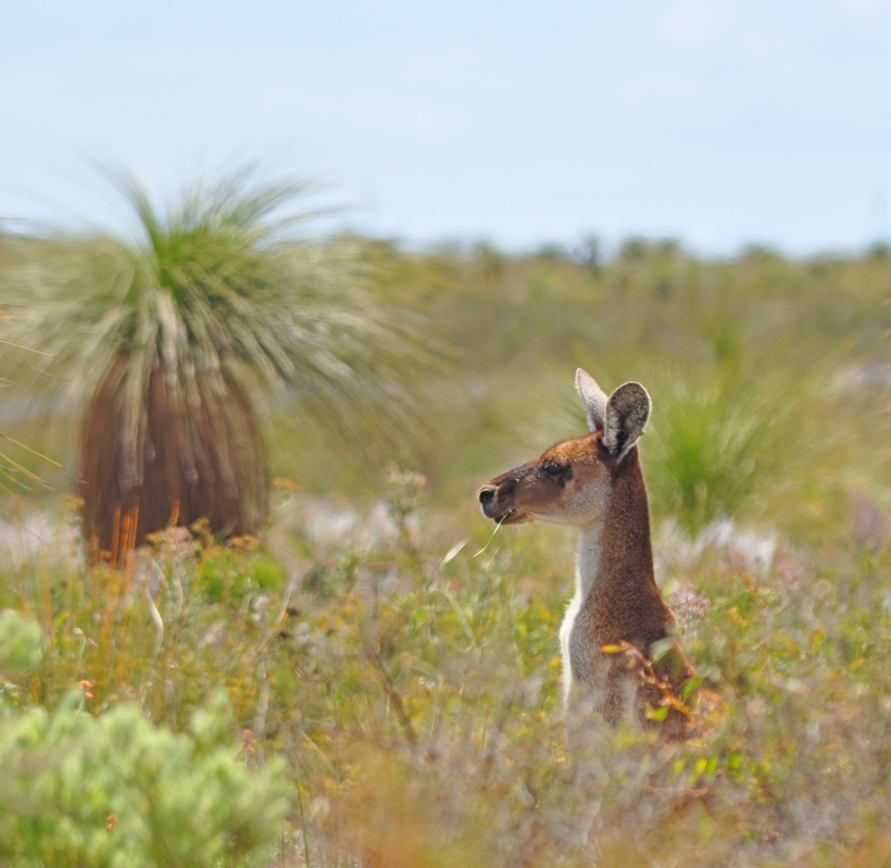 kangoeroe in lesueur westkust van Australië