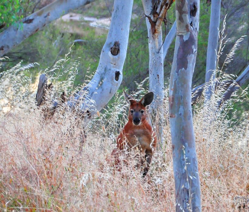kangoeroe westkust Australië