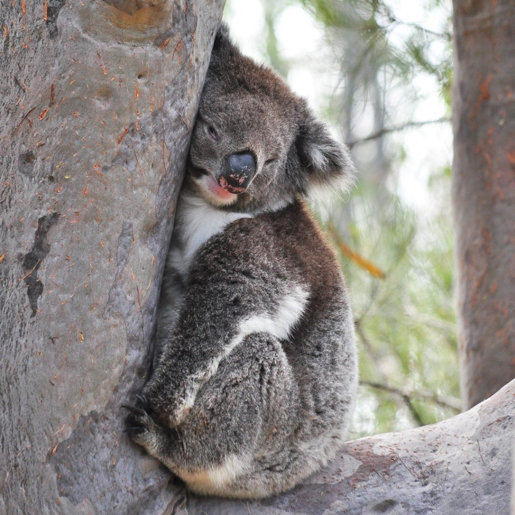 koala in yanchep nationaal park