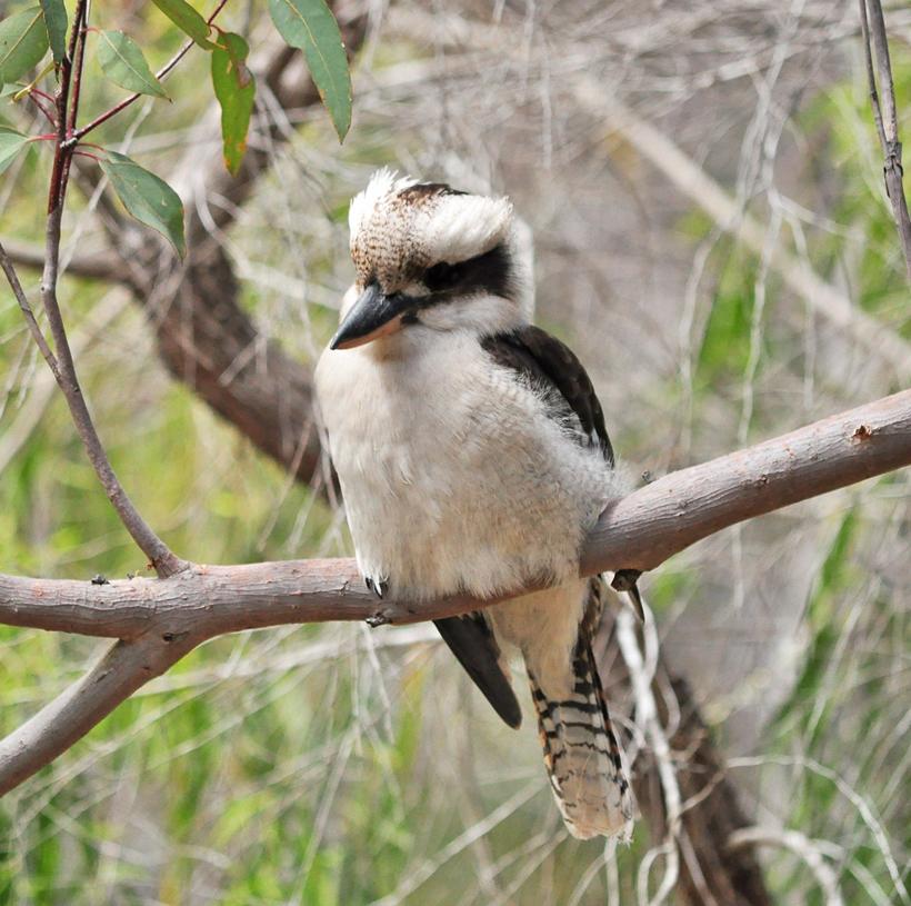 kookaburra in perth hills