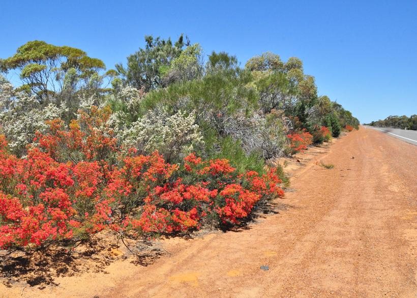 wilde bloemen westkust Australië