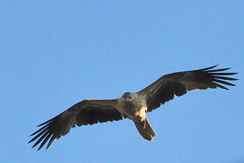 roofvogel westkust van Australië