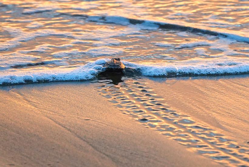 babyschildpadjes helpen in reserva playa tortuga