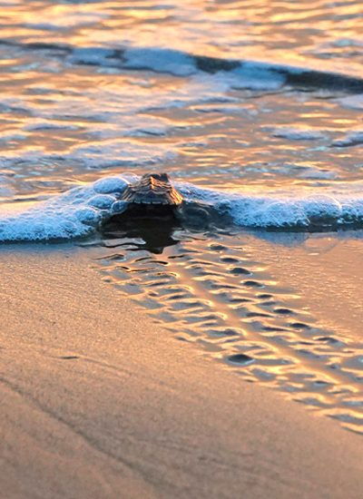 babyschildpadjes vrijlaten in costa rica