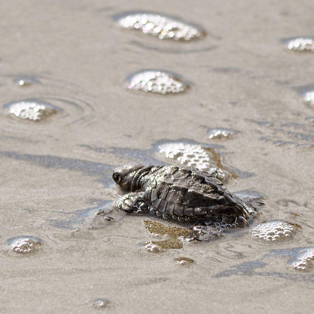 babyschildpad reserva playa tortuga