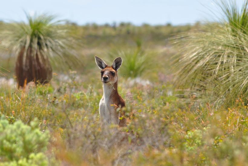kangoeroe lesueur nationaal park westkust van Australië