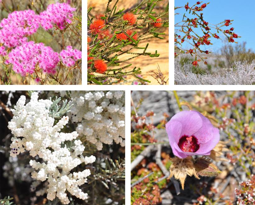 veldbloemen westkust van AustraliË