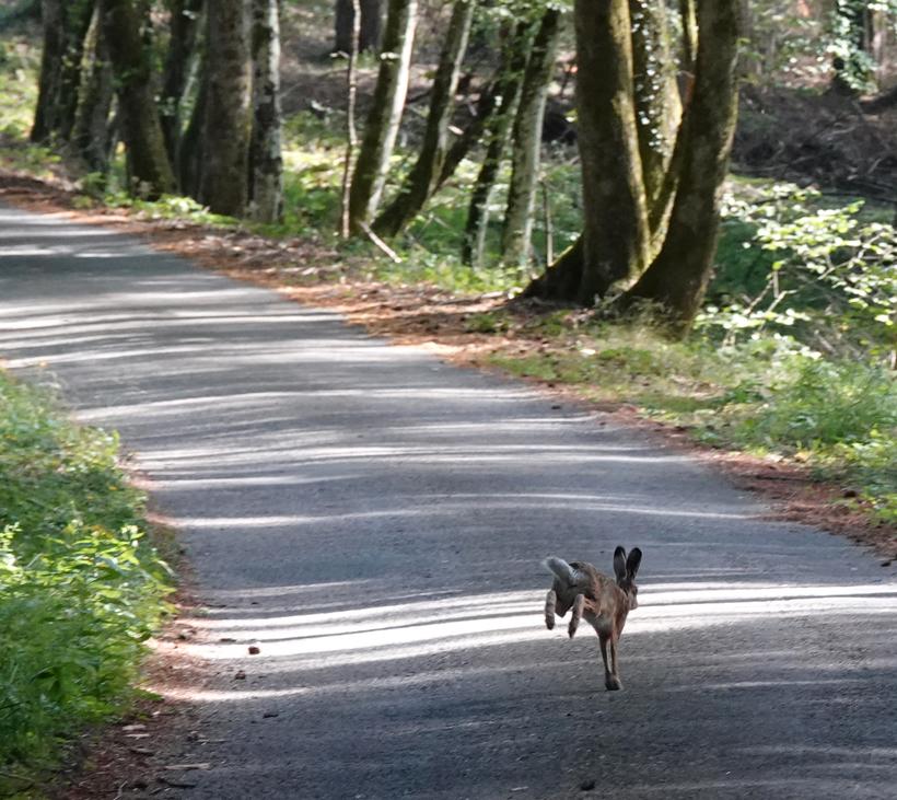 haas op de weg in Bibracte