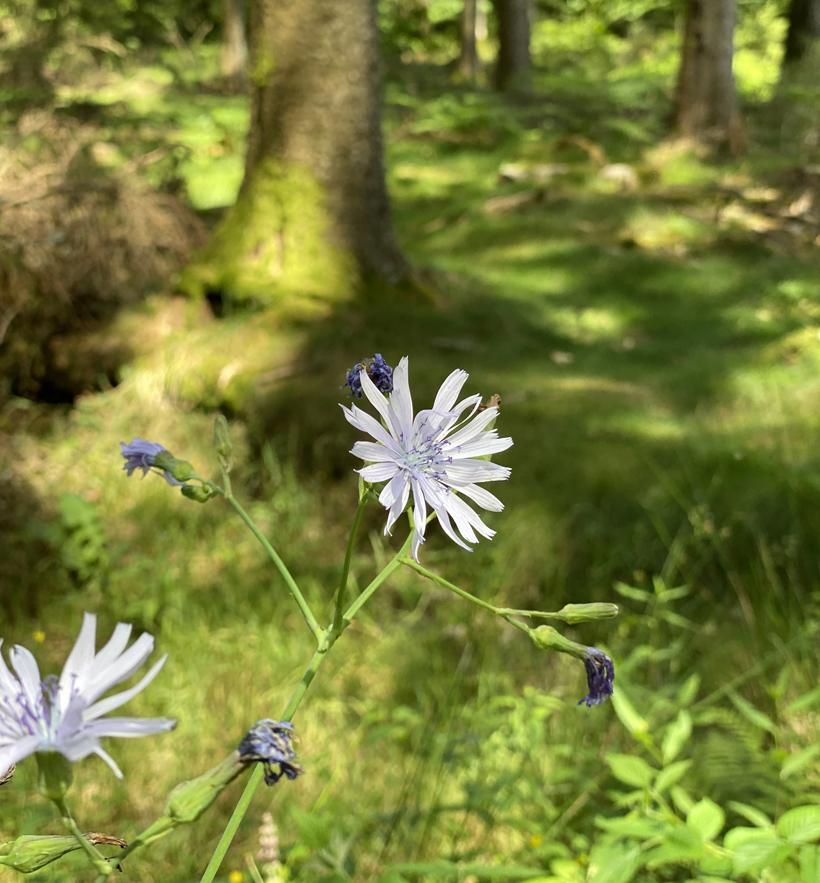 lila veldbloem in de morvan