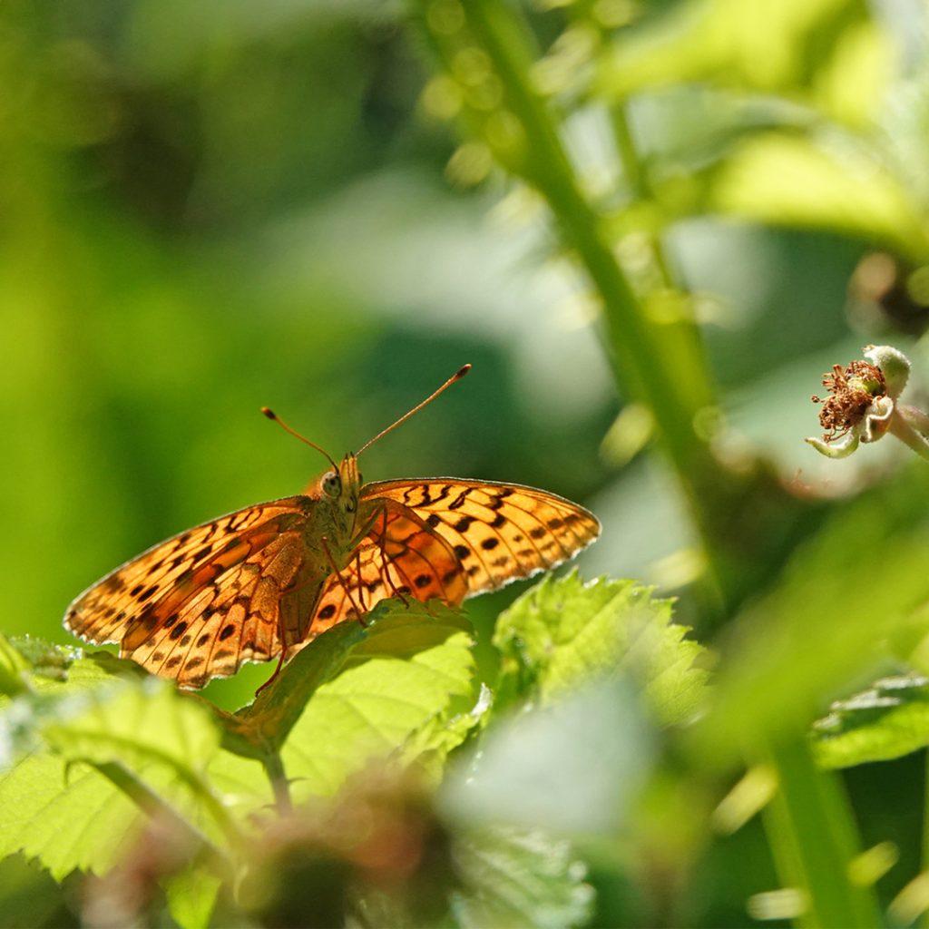 parelmoervlinder Ardennen