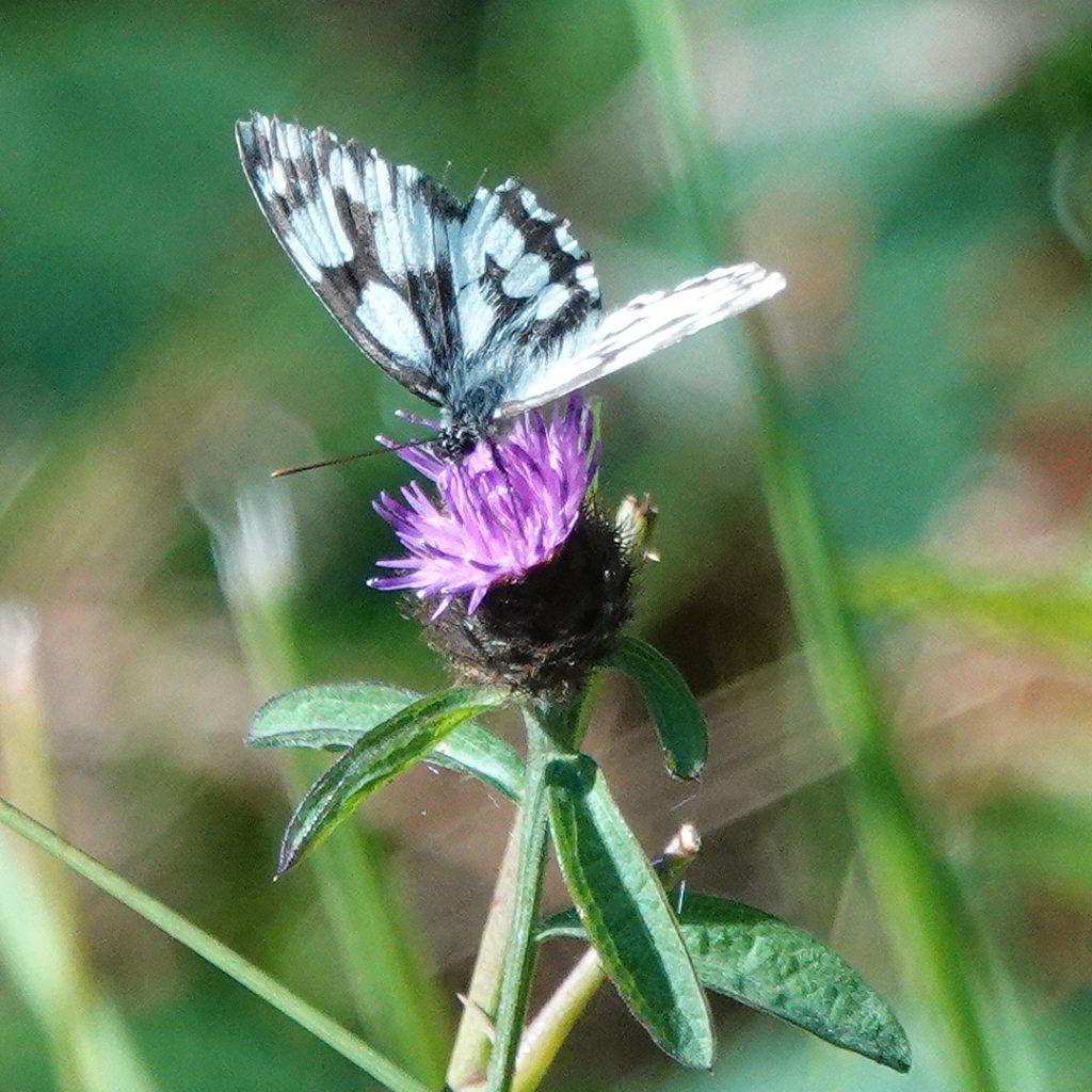 dambordje vlinder in Glux-en-Glenne