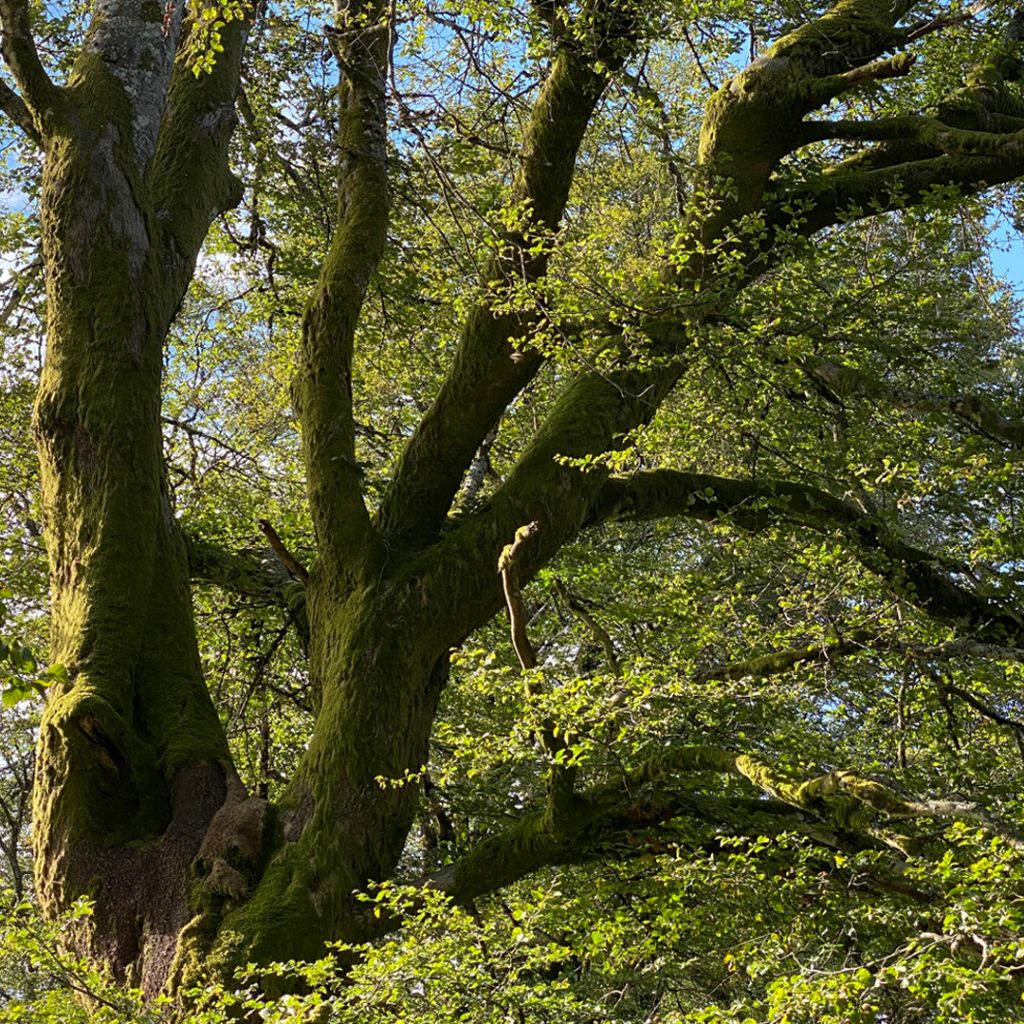 bomen in bibracte
