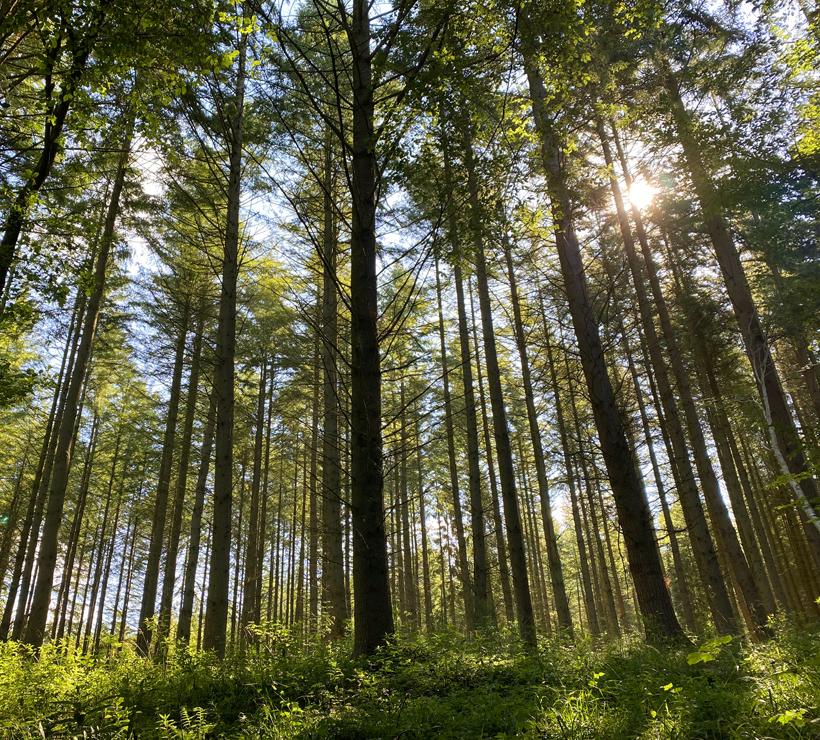 zon hoge stammen bos
