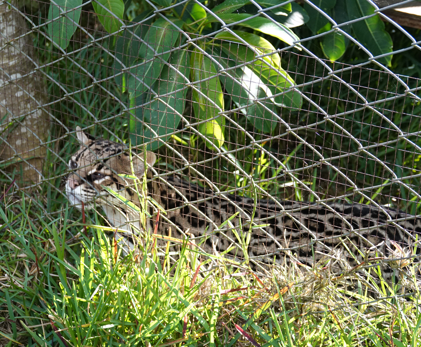 ocelot in Toucan Rescue Ranch Costa Rica