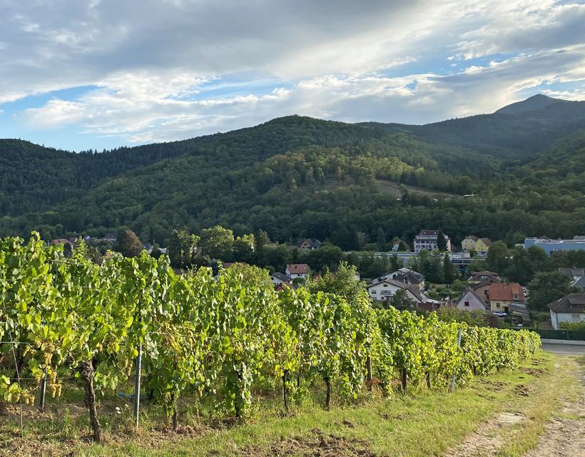wandeling kasteel kaysersberg door wijngaarden