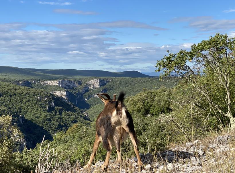 berggeit gorge d'Ardèche