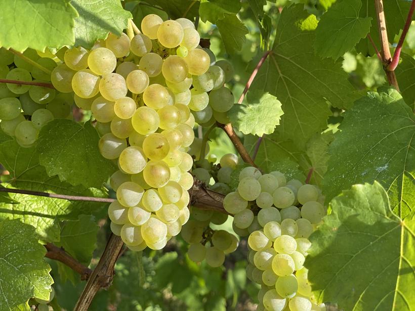 druiven in Kaysersberg