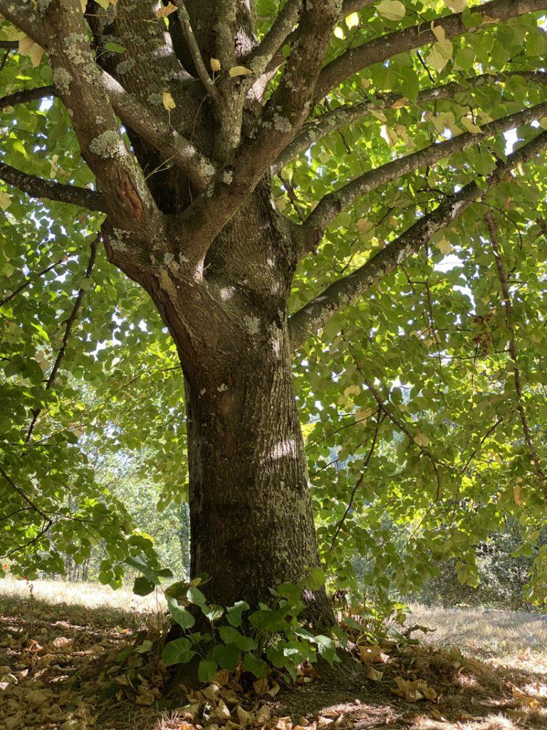 lindeboom in Pratazegat rustig vakantiehuisje met tuin in Ardèche