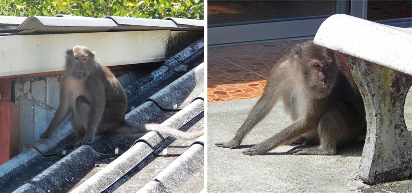 Bang Rong Pier Phuket aapjes in Zuid-Thailand