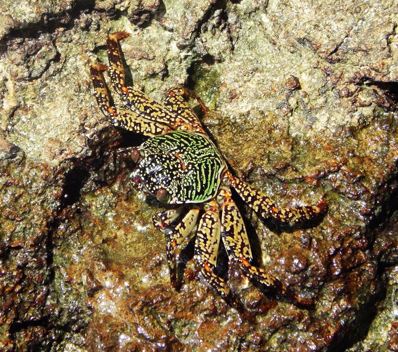 geel groene krab in in Zuid-Thailand