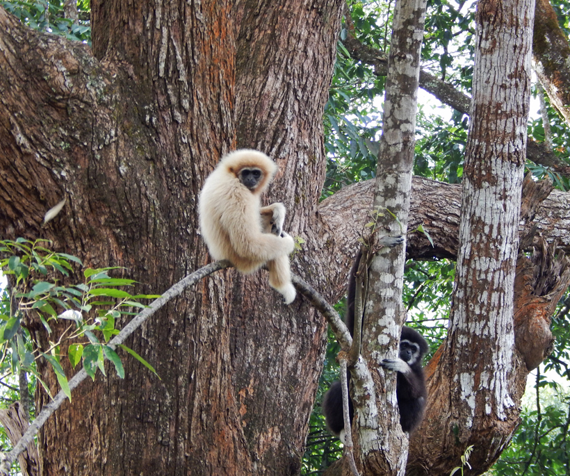 gibbon zipline tour bij Chiang Mai
