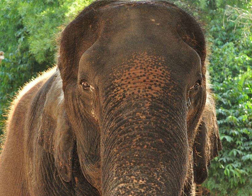 olifanten helpen in opvangcentrum in Thailand