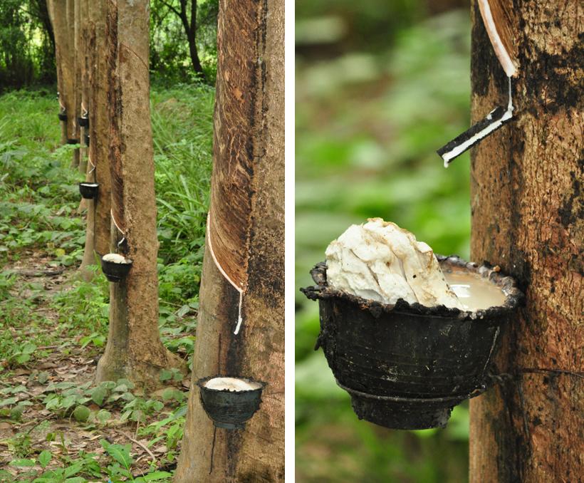 rubbercultuur op eiland Koh Yao Noi in Zuid-Thailand