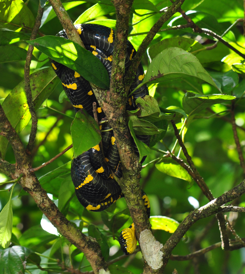 slang in boom in Zuid-Thailand
