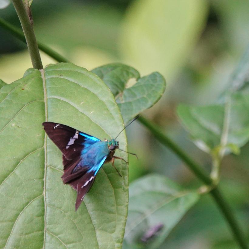blauwe vlinder in La Tierra Madre Costa Rica