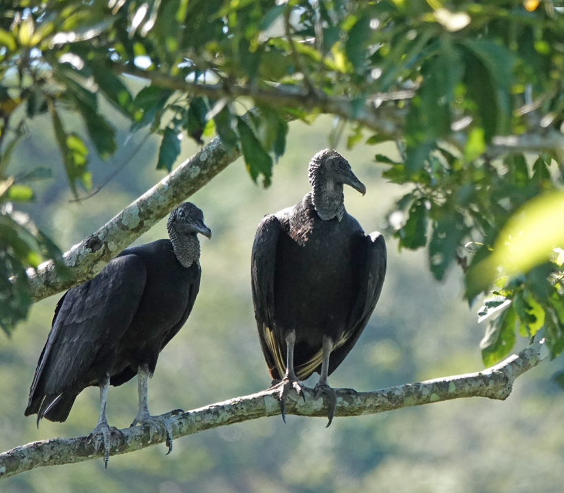 zwarte gieren in La Tierra Madre