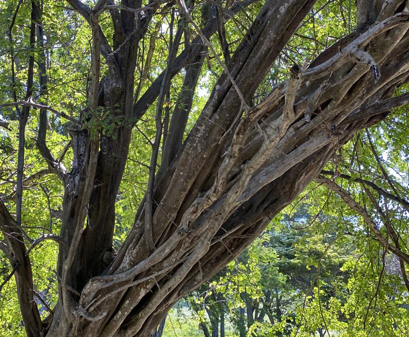 bomen op Playa Rajadita in El Jobo