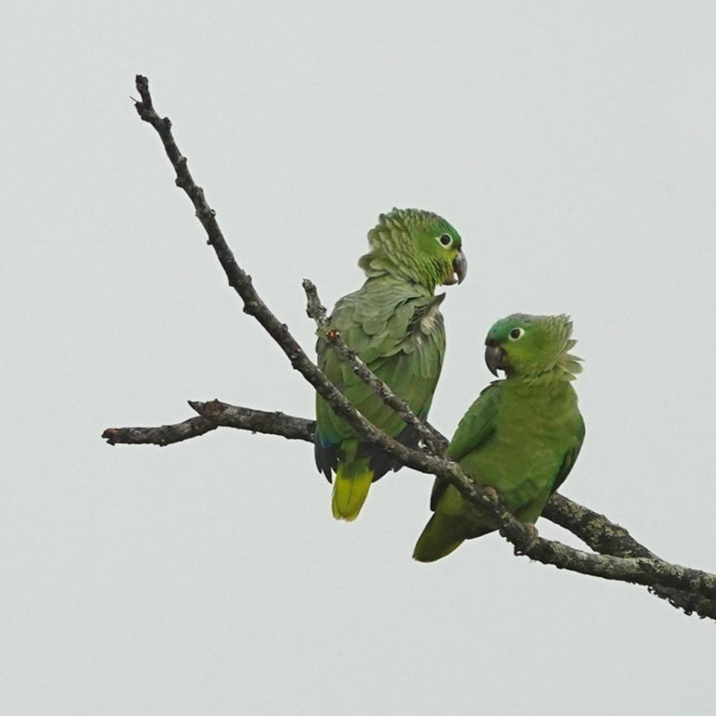 groene papegaaien in nevel Costa Rica