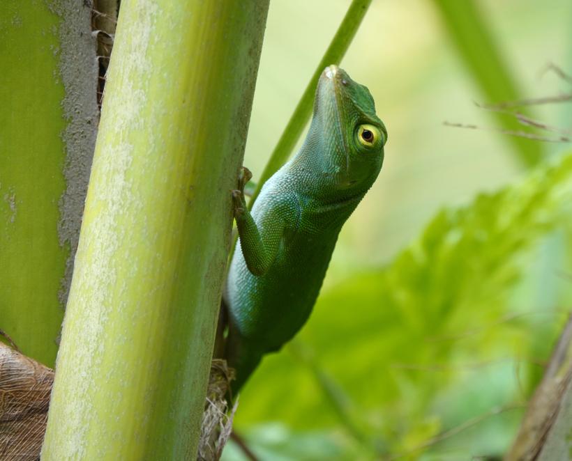 groene hagedis in Tierra Madre La Cruz