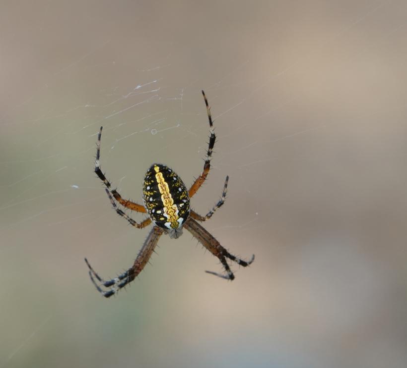 spin met gele streep in Costa Rica