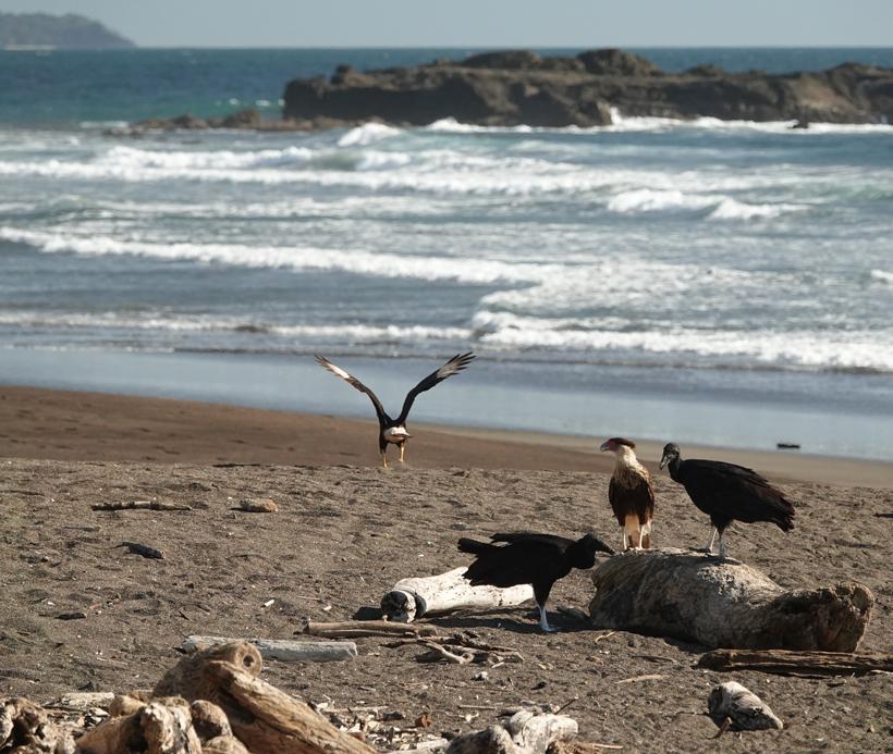 aasgieren op Playa Grande
