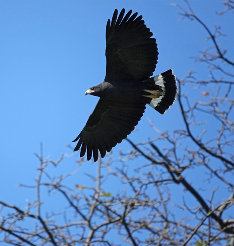 roofvogel Gold Coast Guanacaste