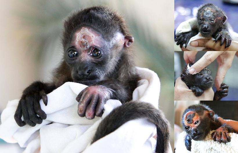 aapjes met brandwonden bij Nosara refuge for wildlife