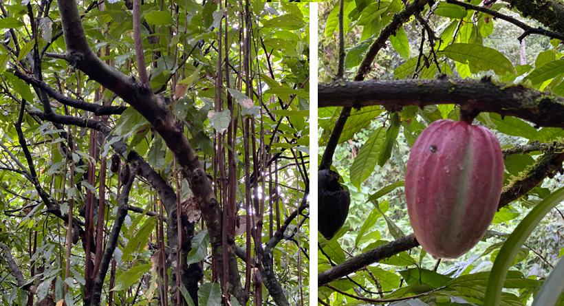 cacaobomen in Finca Apolonia